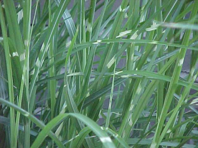 Best ornamental grasses and vines miscanthus sinensis strictus eulalia ornamental grass workwithnaturefo