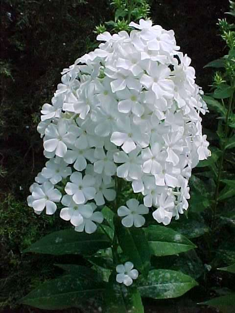 Perennials for season long bloom phlox paniculata mightylinksfo
