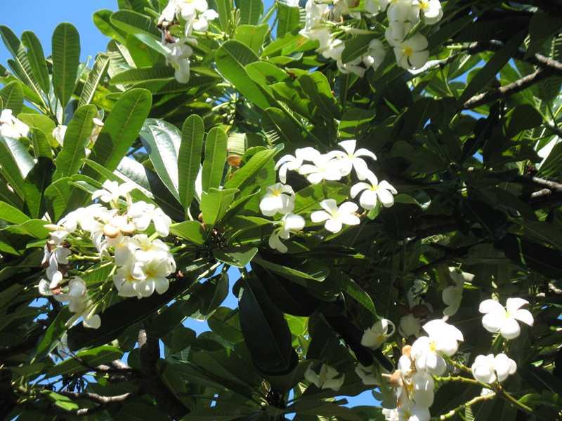 Công ty CP Vạn Niên Tùng cần mua cây vông kê, cây đại, cau Hawaii xuất khẩu