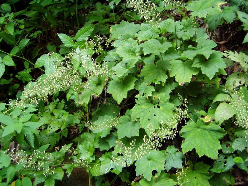 Selected perennials for oklahoma gardens tiarella cordifolia foam flower mightylinksfo