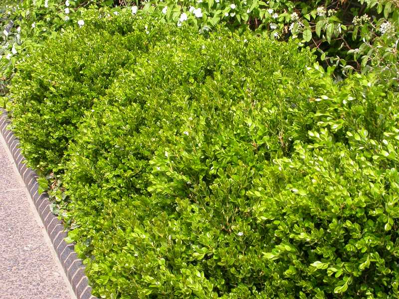 Slow Growing Hedge Plants http://www.missouribotanicalgarden.org/gardens-gardening/your-garden/help-for-the-home-gardener/advice-tips-resources/visual-guides/best-shrubs.aspx