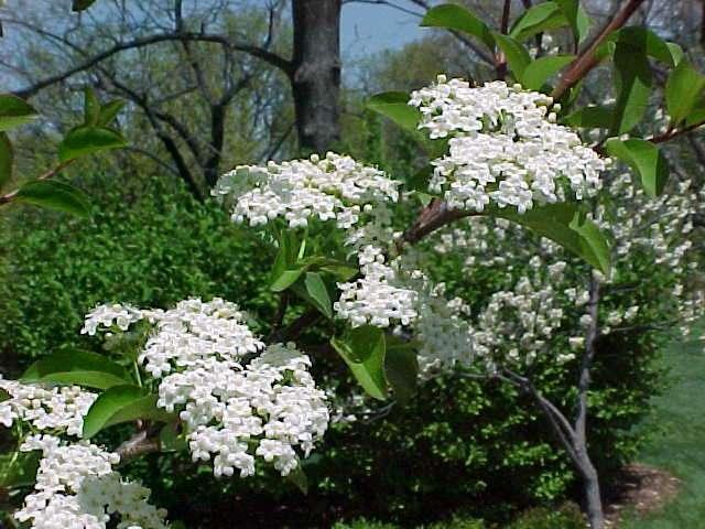 Best shrubs viburnum prunifolium blackhaw viburnum deciduous shrub mightylinksfo