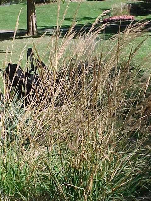 Best ornamental grasses and vines sorghastrum nutans indian grass ornamental grass workwithnaturefo