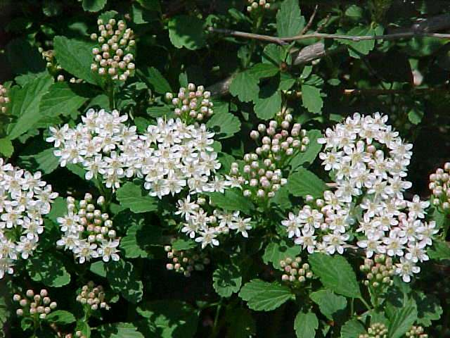10 best plants for a dry shade garden with shrubs physocarpus opulifolius ninebark deciduous shrub mightylinksfo Images
