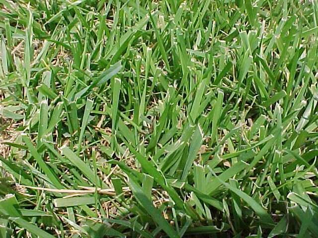 Help identifying unwanted grass - aroundtheyard.com Forums