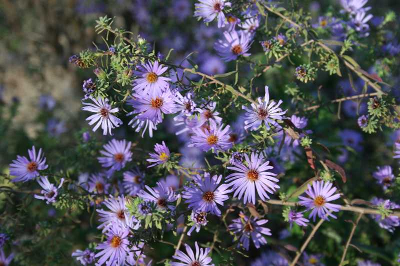 Selected perennials for oklahoma gardens aster mightylinksfo