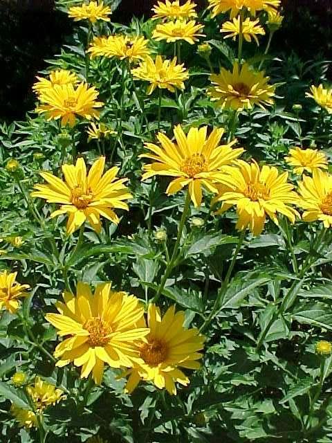 Low maintenance perennials heliopsis helianthoides mightylinksfo