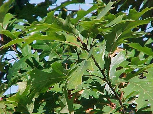 Native Trees for Missouri Landscapes
