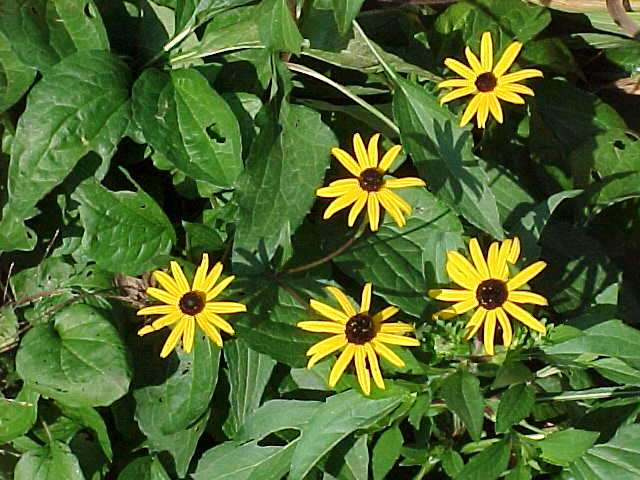 Low maintenance perennials rudbeckia mightylinksfo