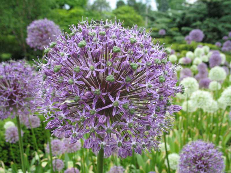 Best bulbs allium giganteum mightylinksfo
