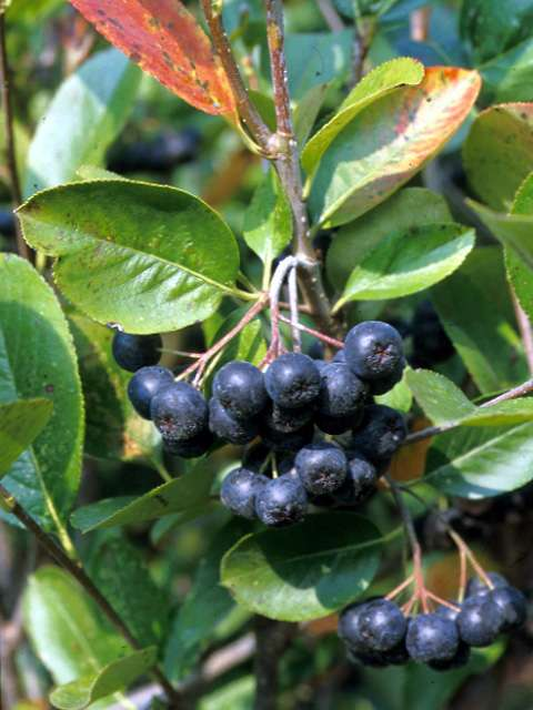 aronia melanocarpa plant finder. Black Bedroom Furniture Sets. Home Design Ideas