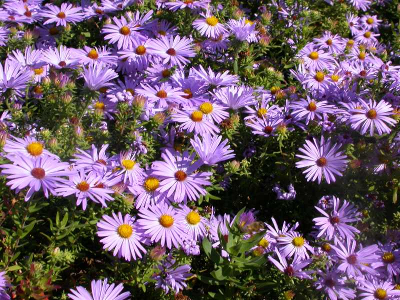 Perennials for season long bloom symphyotrichum oblongifolium aromatic aster herbaceous perennial mightylinksfo