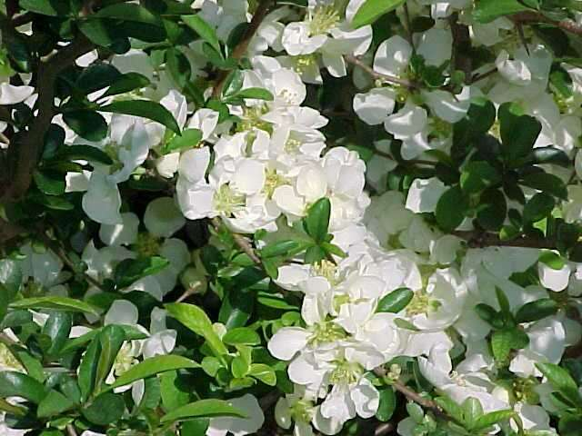 Best shrubs chaenomeles x superba jet trail flowering quince deciduous shrub mightylinksfo