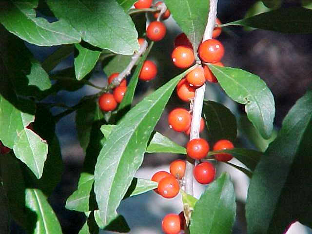 Native trees for missouri landscapes ilex decidua mightylinksfo