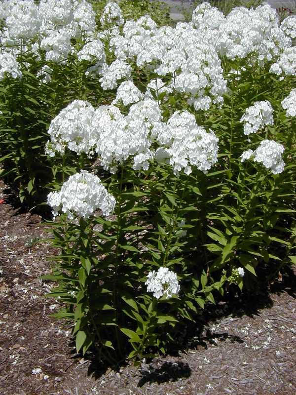 Phlox Paniculata David Plant Finder