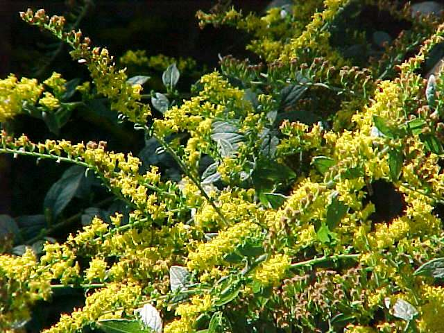 Perennials for season long bloom solidago mightylinksfo