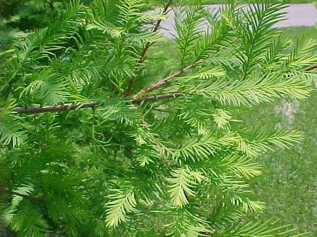 Native trees for missouri landscapes taxodium mightylinksfo