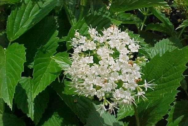 Best shrubs viburnum dentatum arrowwood viburnum deciduous shrub mightylinksfo
