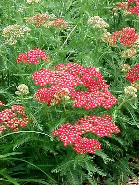 Perennials for season long bloom achillea millefolium paprika yarrow herbaceous perennial mightylinksfo