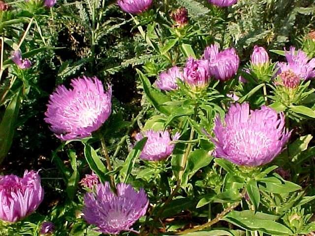 T's Flowers Seeds - Stokesia Seeds (Stokesia laevis Seeds) $1.00/pack