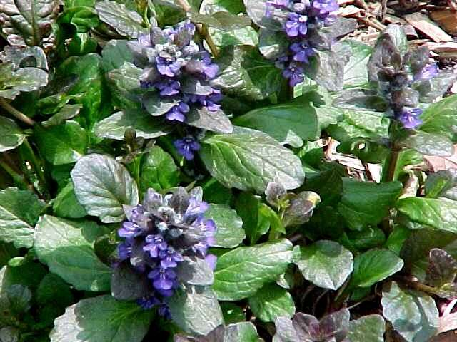 Perennials for season long bloom ajuga mightylinksfo