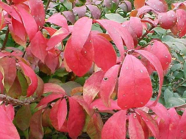 Best shrubs euonymus mightylinksfo