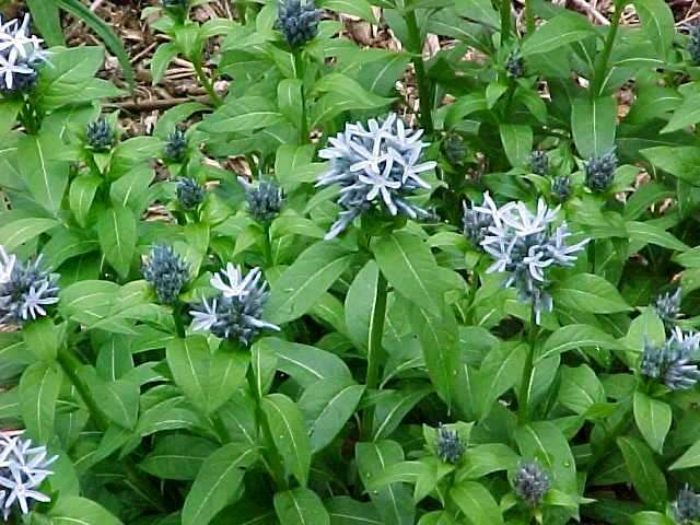 Amsonia Tabernaemontana Salicifolia Amsonia Tabernaemontana