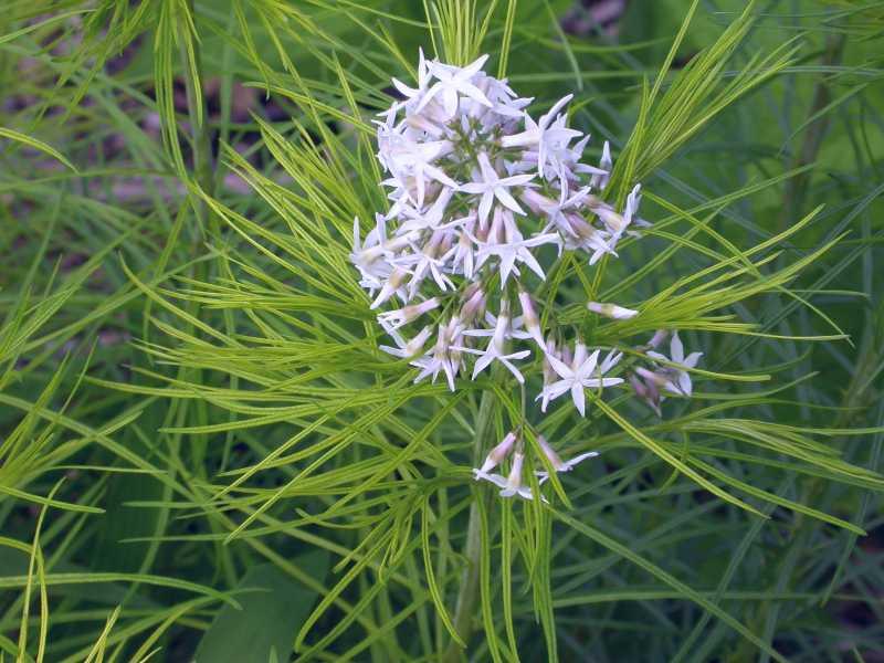 Amsonia Hubrichtii Arkansas Blue Star Blue Star Amsonia Hubrichtii