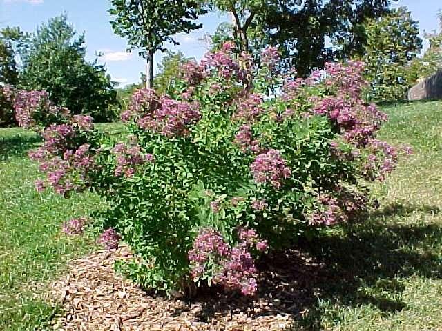 Леспедеца двуцветная выращивание из семян 4