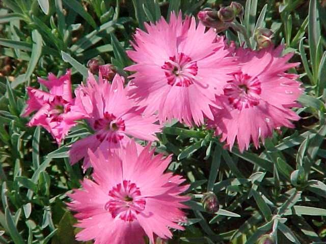 http://www.missouribotanicalgarden.org/Portals/0/PlantFinder/low/Y210-0901021.jpg