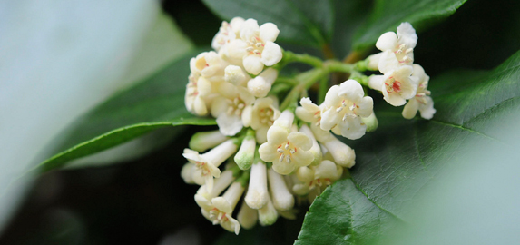 viburnum in the shoenberg temperate house