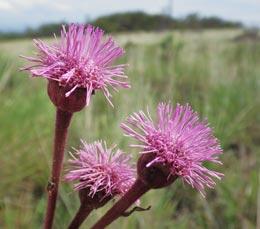 Campuloclinium macrocephalum (Less.) DC. (Asteraceae)