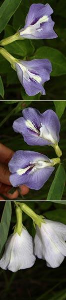 Clitoria guianensis (Aubl.) Benth. (Fabaceae)