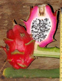 Hylocereus monacanthus (Lem.) Britton & Rose (Cactaceae)
