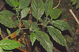 Justicia trichotoma (Kuntze) Leonard (Acanthaceae)