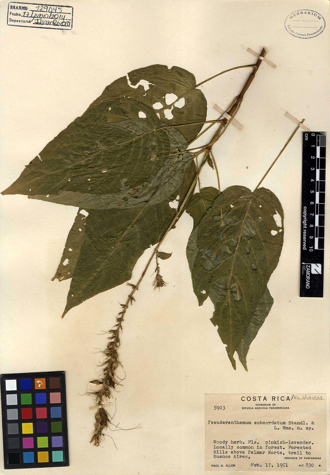 Pseuderanthemum subcordatum L. Wms. n. sp.
