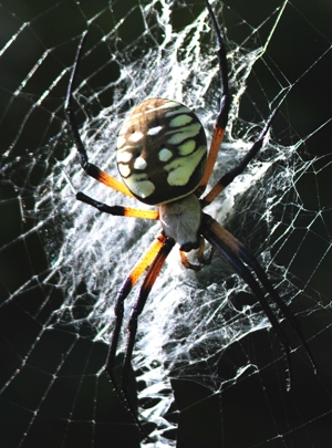 Black and yellow field spider Argiope aurantia