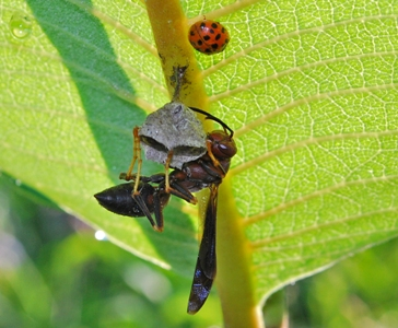 Brown paper wasp Polistes metricus nest under Asclepias leaf
