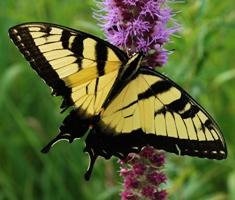 Tiger swallowtail Pterourus glaucus_Liatris pycnostachya
