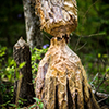 tree trunk chewed on by beaver