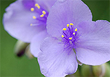 Wild edible: spiderwort
