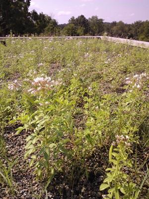 viola violacea flower salad