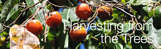 Harvesting from the trees