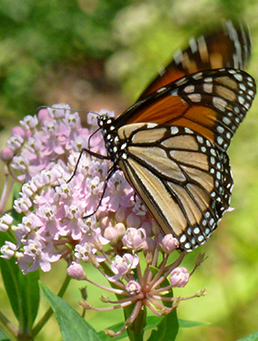 Butterfly on native plant