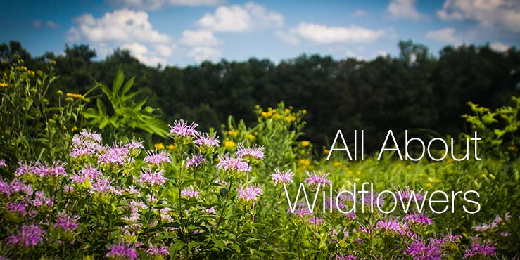 All About Wildflowers