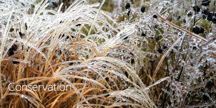 Grasses covered in ice