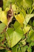 Aristolochia pichichensis