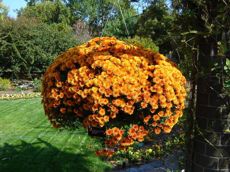 Chrysanthemums add  Seasonal Beauty to the Fall Landscape!