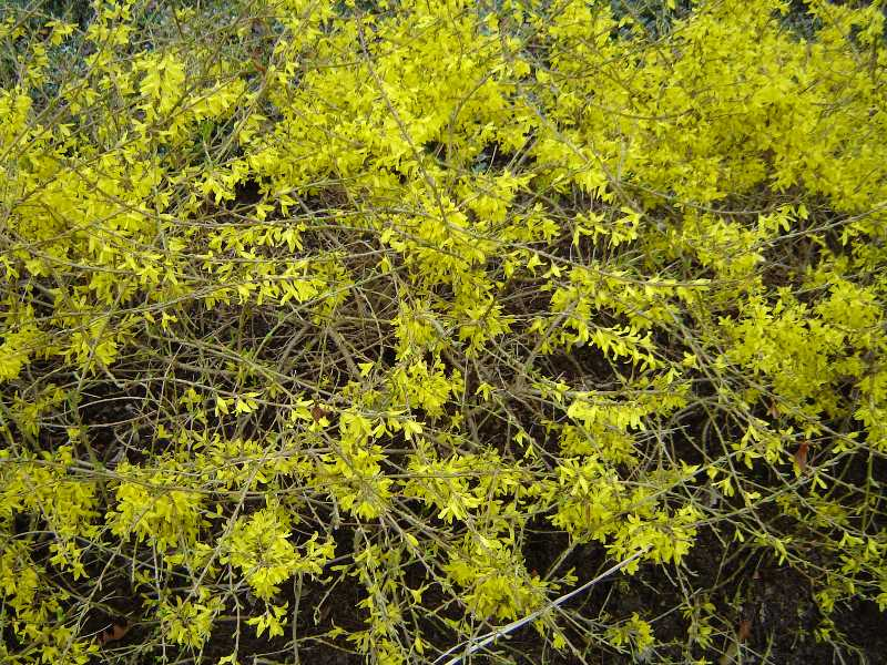 Forsythia - a sign of spring