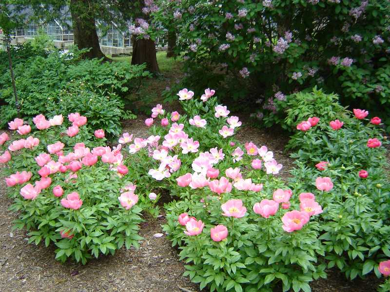 Peonies: a Spring Tradition